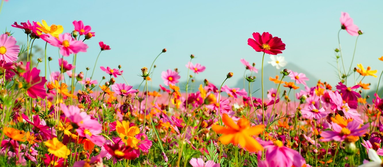 TOUPA HOIH HI pink colorful cosmos flowers field meadow summer tsvety pole  Home New pink colorful cosmos flowers field meadow summer tsvety pole